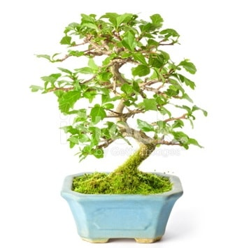 S zerkova bonsai kısa süreliğine  Erzincan uluslararası çiçek gönderme