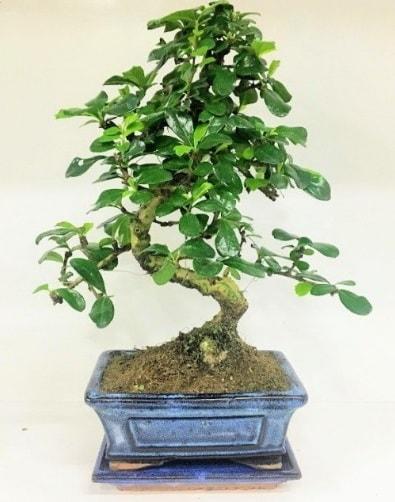 S Bonsai japon ağacı bitkisi  Erzincan çiçek , çiçekçi , çiçekçilik