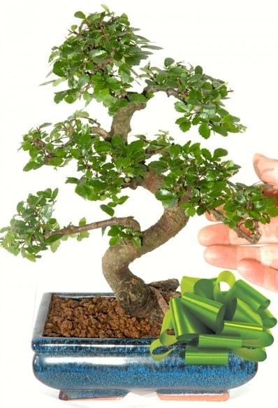 Yaklaşık 25 cm boyutlarında S bonsai  Erzincan online çiçekçi , çiçek siparişi