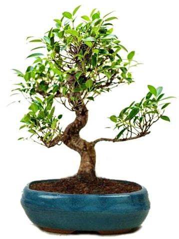 25 cm ile 30 cm aralığında Ficus S bonsai  Erzincan 14 şubat sevgililer günü çiçek