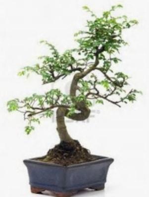 S gövde bonsai minyatür ağaç japon ağacı  Erzincan çiçek servisi , çiçekçi adresleri