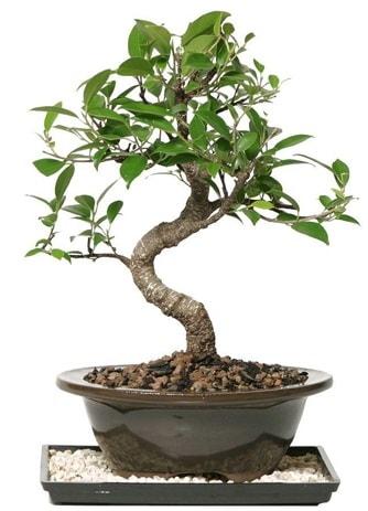 Altın kalite Ficus S bonsai  Erzincan çiçek online çiçek siparişi  Süper Kalite