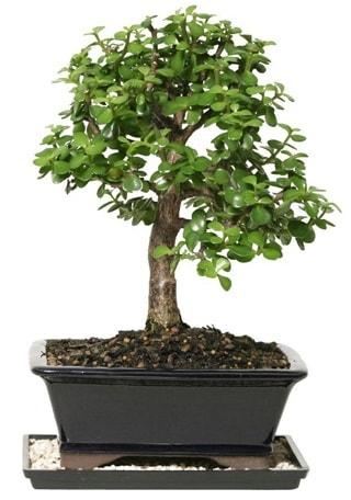 15 cm civarı Zerkova bonsai bitkisi  Erzincan online çiçekçi , çiçek siparişi
