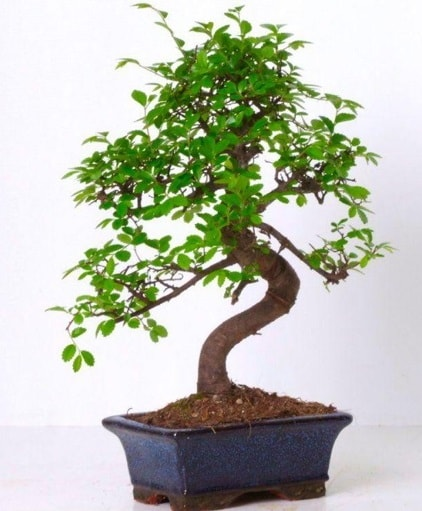 S gövdeli bonsai minyatür ağaç japon ağacı  Erzincan 14 şubat sevgililer günü çiçek