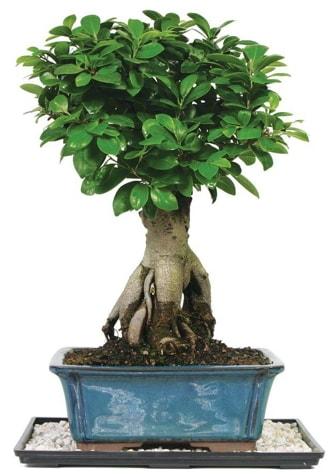 Bonsai Ginsing Grafted Ficus Bonsai  Erzincan anneler günü çiçek yolla