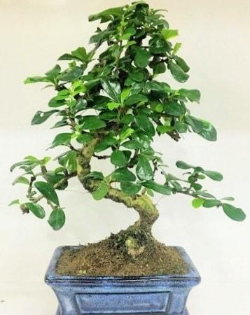 Zelkova S gövdeli Minyatür ağaç Bonzai  Erzincan hediye sevgilime hediye çiçek