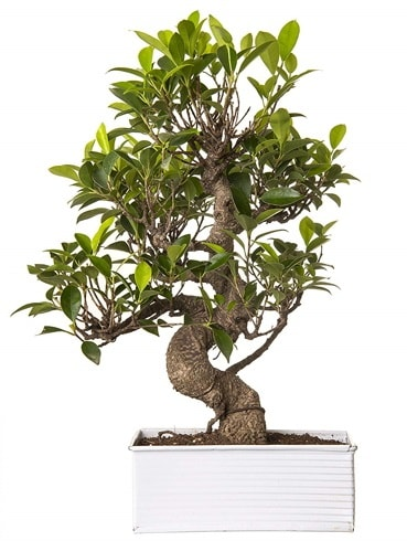 Exotic Green S Gövde 6 Year Ficus Bonsai  Erzincan 14 şubat sevgililer günü çiçek