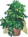 Erzincan çiçek gönderme sitemiz güvenlidir  Schefflera gold